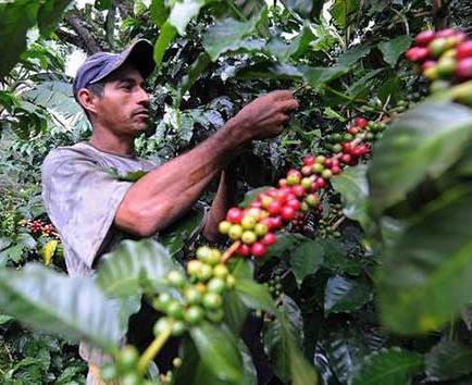 1.150 hectáreas de café se han intervenido en cinco parroquias