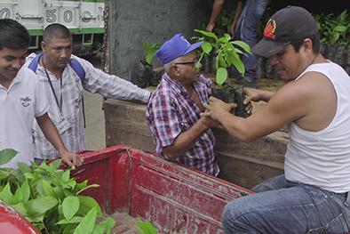 12.000 plantas para  mejorar cultivos de cacao