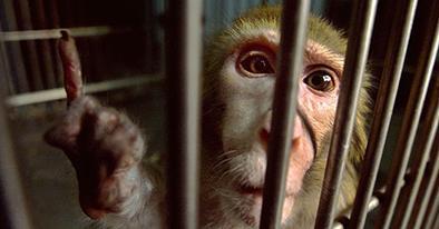 Monos infectados se escapan de sus jaulas
