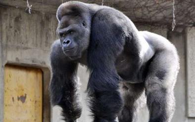 Shabani, el más bello del zoo