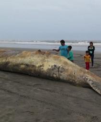 Ballena muerta en el litoral peruano fue enterrada para evitar contaminaci