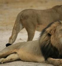 Hombre admite que mató a famoso león y pensaba que la cacería era legal