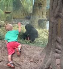 Cría de gorila juega a las escondidas con un niño (Video)