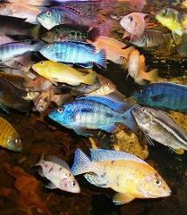 Descubren un pez que reconoce a los de su especie por el rostro
