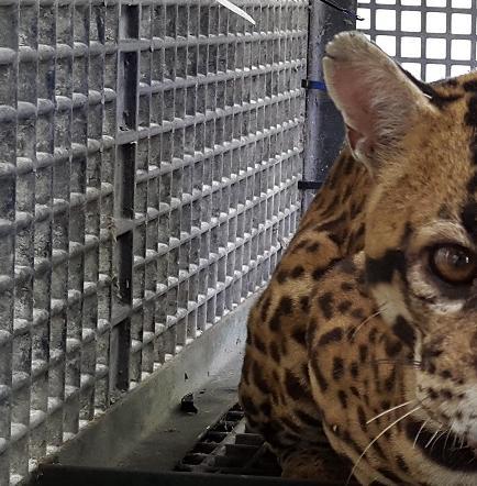 Tráfico animal, un delito de paso en Santo Domingo