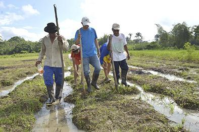 Sembrar arroz es una  alternativa en crisis