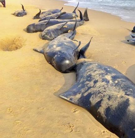 Un centenar de ballenas piloto se quedan varadas en la costa meridional india