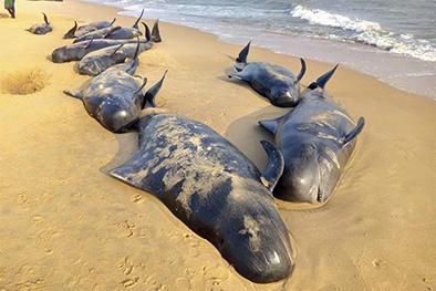 Un centenar de ballenas se quedan varadas