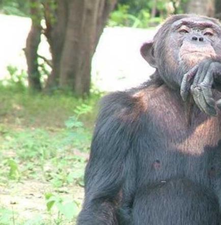 Un estudio constata lazos de confianza entre chimpancés amigos