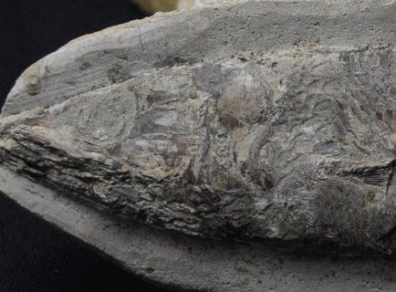 Hallan en Colombia el fósil de un pez de cerca de 130 millones de años