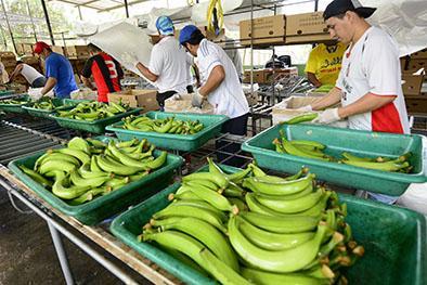 Caja de plátano de exportación sigue en $ 7,30