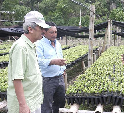 Sembrarán 7.852 hectáreas de café