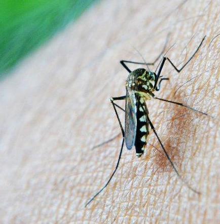Mosquito aedes aegypti, enemigo publico número uno de Paraguay