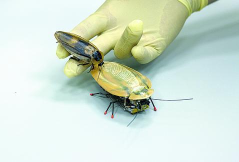 Diseñan robot inspirado en la cucaracha para rescatar supervivientes de terremotos