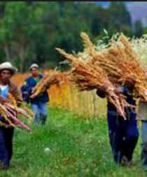 Perú es el primer productor mundial de quinua en 2015