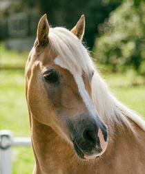 Un estudio revela que los caballos pueden reconocer las emociones humanas