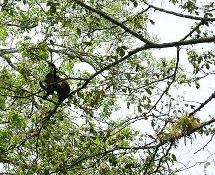 Monos aulladores siguen muriendo