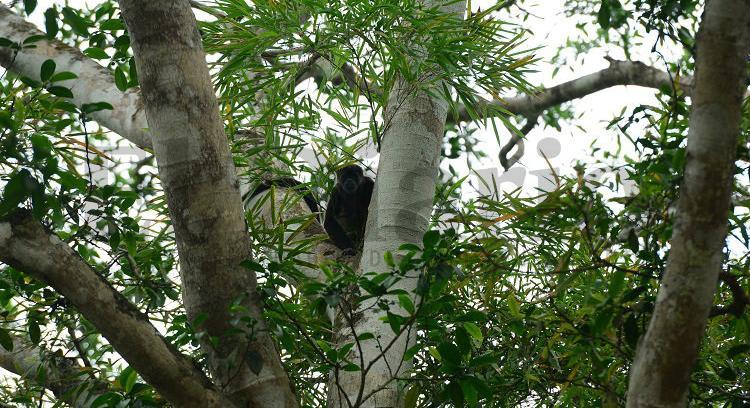 Muerte de monos aulladores preocupa a autoridades y habitantes de Manta y Montecristi