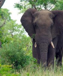 Un elefante entra en un pueblo indio y mata a un hombre