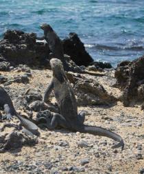 Dos años de prisión para mexicano que intentó sacar 11 iguanas de Galápagos