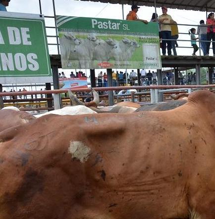 Ganaderos de Santo Domingo preocupados por el contrabando de reses en el país