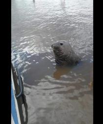 Avistan un elefante marino en la costa del río argentino Gualeguaychú