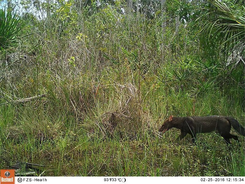 Avistan por primera vez un perro de monte en reserva de la Amazonía peruana