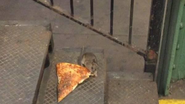 Aumentan quejas por la presencia de ratas en Nueva York