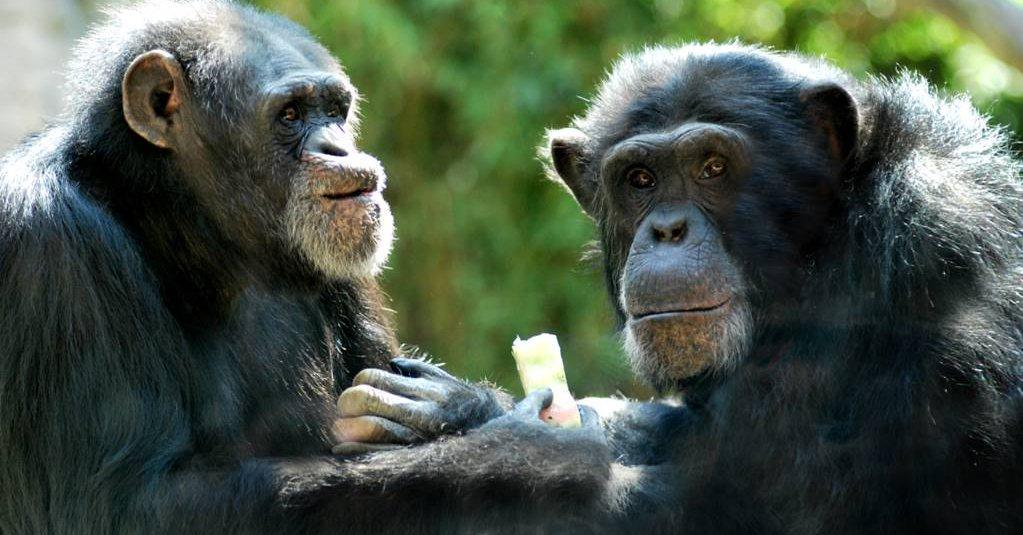 Los simios asiáticos más parecidos al hombre desaparecieron en épocas heladas