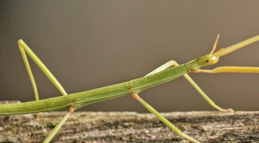 Descubren el insecto más largo del mundo, de 62,4 centímetros, en China