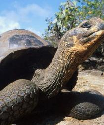 Tortuga de Galápagos y cochinilla de Brasil, 'top ten' de nuevas especies
