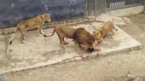 Chileno que entró a jaula leones padece 'delirio mesiánico', según expertos