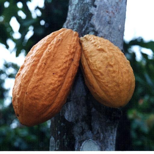 Ecuador presenta dos nuevos granos de cacao en el mercado ruso