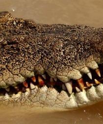 Un cocodrilo se lleva a una mujer que se bañaba en una playa de Australia