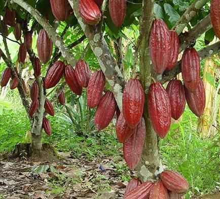 Entregaron 78 mil plantas de cacao en proyecto el diario for Plantas ornamentales del ecuador