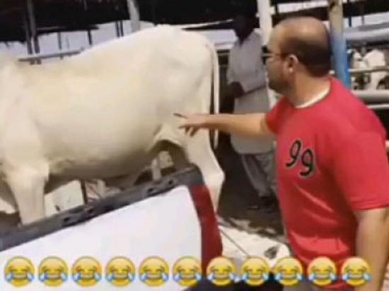 Le hace cosquillas a una vaca