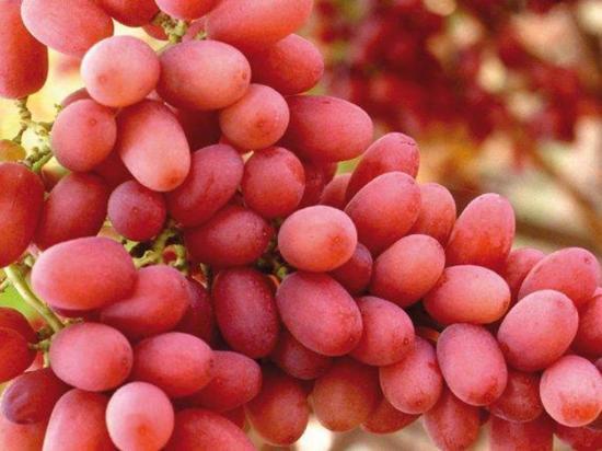 Pagan más de $ 10 mil por racimo de uvas