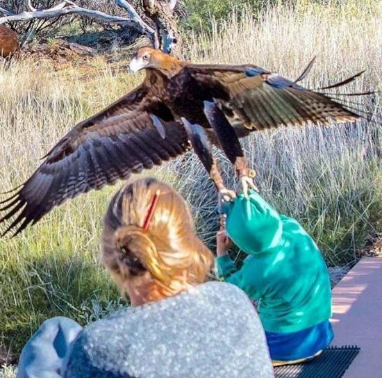 Un águila trata de llevarse a un niño durante evento de exhibición en Australia