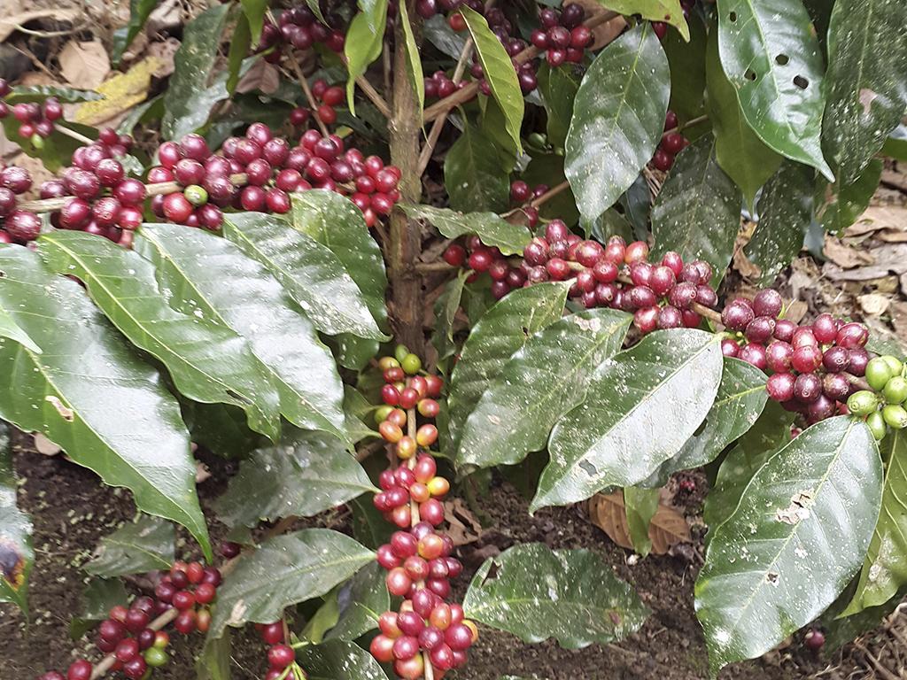 Forexpros precio del cafe