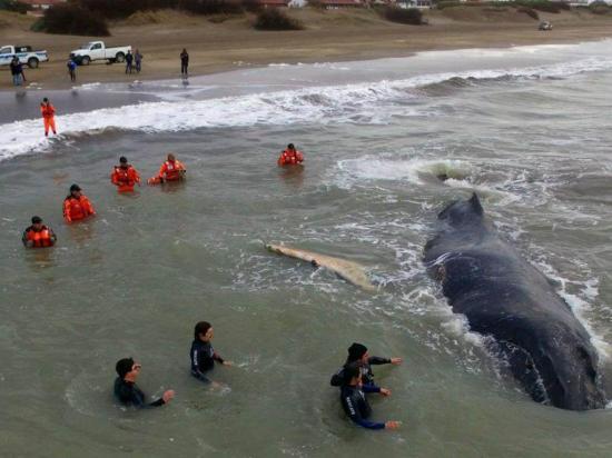 Rescatan a una ballena varada