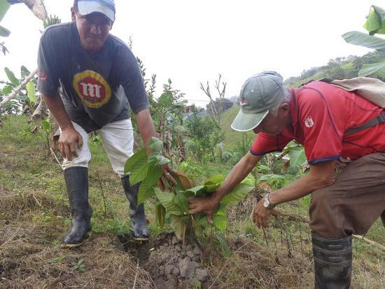 Esperan cosechar cacao en Ciriaco