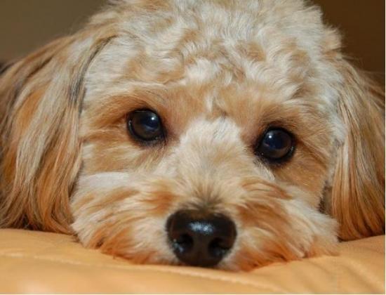 La importancia de limpiar los ojitos a tu perro
