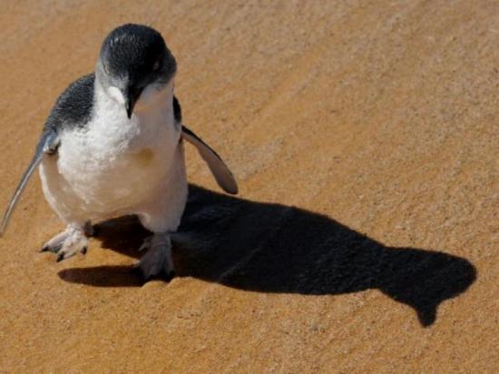 Un pequeño pinguino sorprende y paraliza el tránsito