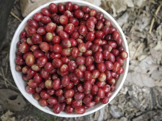Caficultores satisfechos por el actual precio  del quintal de café