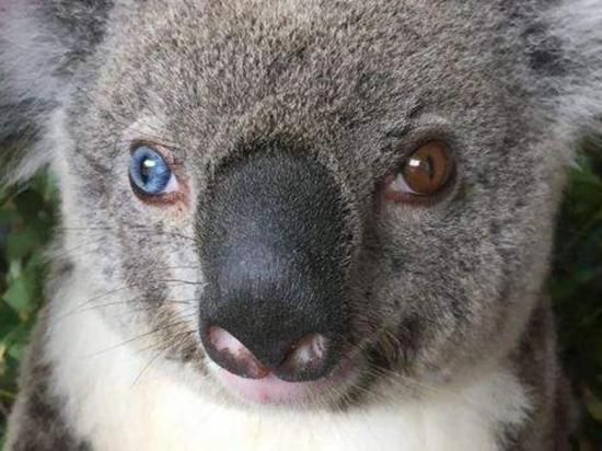 Zoológico rescata a un koala con ojos de dos colores