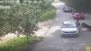 Una mujer muerta y otra herida tras ataque de tigres en un safari en Pekín