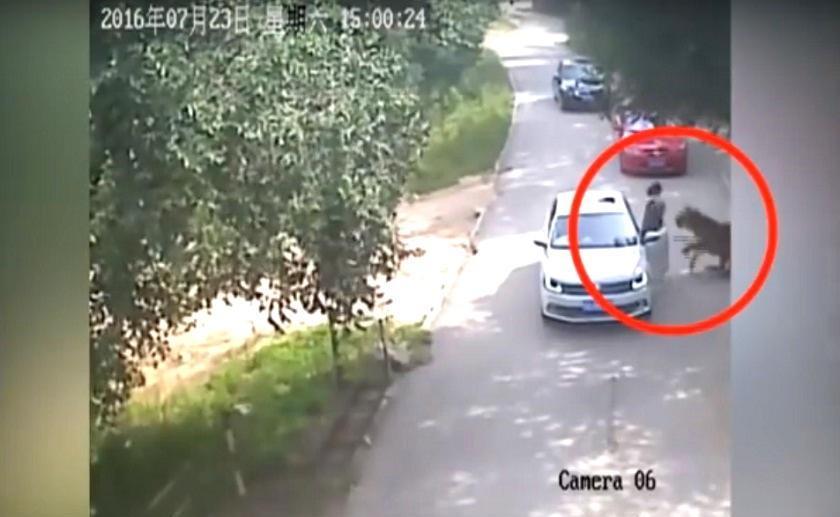 Mujer china que fue atacada por un tigre se encuentra en estado grave