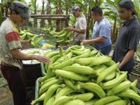 Plátano con buen precio y baja producción