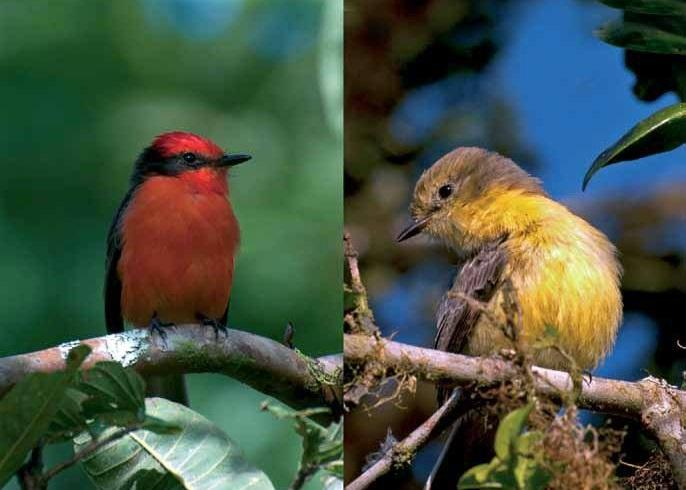 Una especie de ave está en peligro de extinción en Galápagos