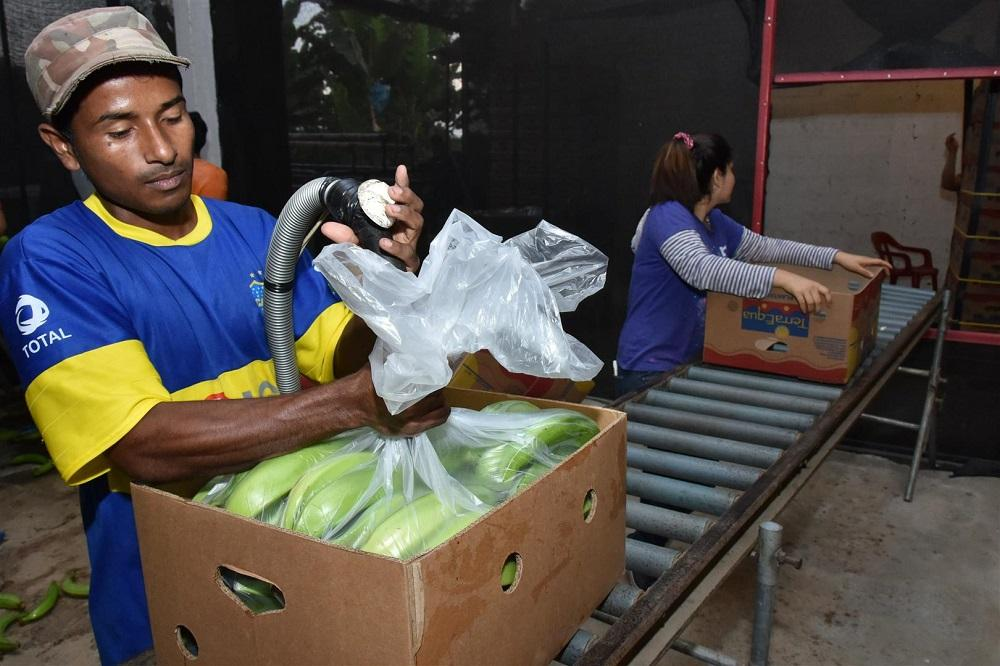 Zona ILCO envía plátano a Europa